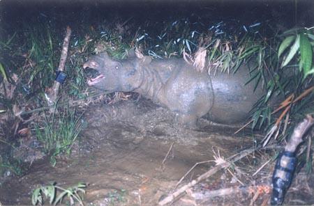 Tê giác tại Việt Nam đã tuyệt chủng! | TTVH Online