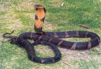 Bắt vụ vận chuyển rắn hổ mang chúa trên xe chở khách