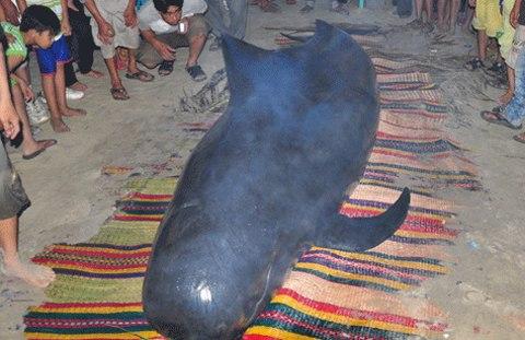 Xác cá voi dài gần 13 mét trôi dạt vào bờ