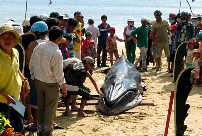Cá voi dài 6 mét dạt vào bờ biển Phú Yên