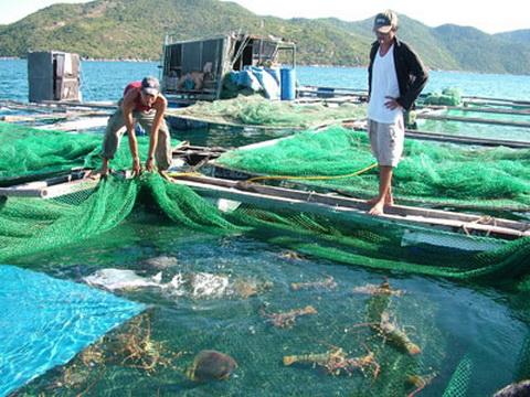 Nghề nuôi tôm hùm sẽ 'lên bờ' và mang lại 4.300 tỷ đồng/năm