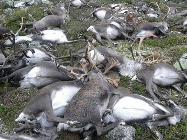 KINH HOÀNG: Sét đánh liên tiếp, giết sạch đàn hươu hơn 320 con