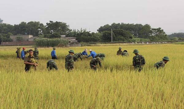 CHÙM ẢNH XÚC ĐỘNG: Bộ đội xuống ruộng giúp dân gặt lúa 'chạy' bão số 7