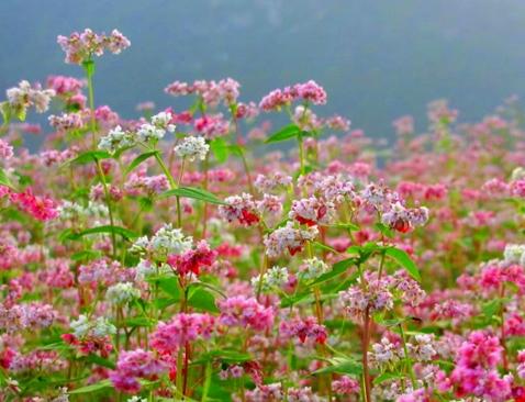 Ngắm hoa tam giác mạch trên phố đi bộ Hoàn Kiếm