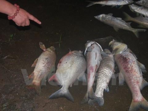 Cá chết hàng loạt ở hồ ở Hà Nội do ô nhiễm và thời tiết