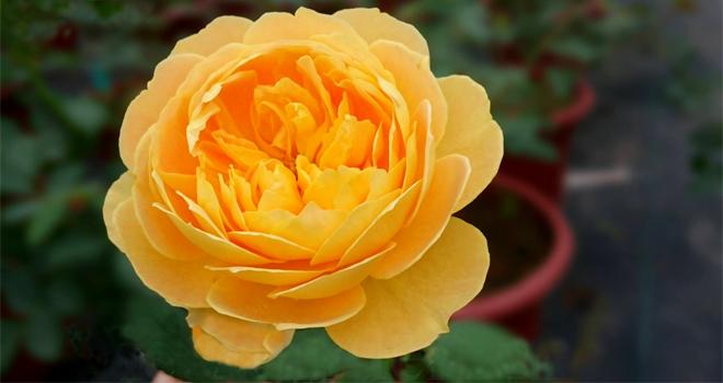 Chiêm ngưỡng vườn hoa hồng cổ tuyệt sắc giữa lòng Hà Nội