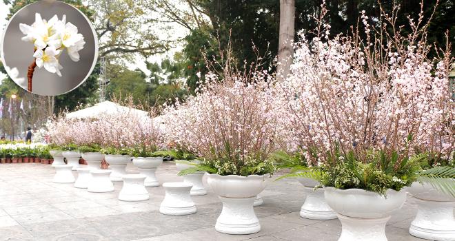 Lễ hội Hoa anh đào bên Tượng đài Lý Thái Tổ, Hà Nội: 100% hoa 'xịn'