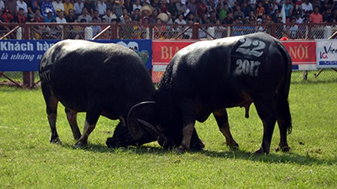 TƯỜNG THUẬT TRỰC TIẾP từ lễ hội chọi trâu Đồ Sơn: 17 kháp đấu diễn ra quyết liệt