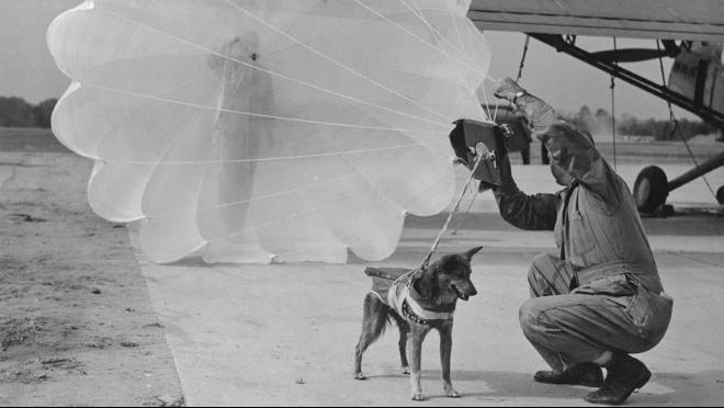 Những chú chó… nhảy dù trong trận Normandie lịch sử