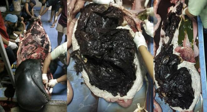 Sốc với hình ảnh cá voi khổng lồ chết vì nuốt cả kho túi ni lông rác