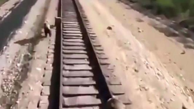 Cố chặn tàu hỏa để cứu con, gấu mẹ bị cán chết thương tâm