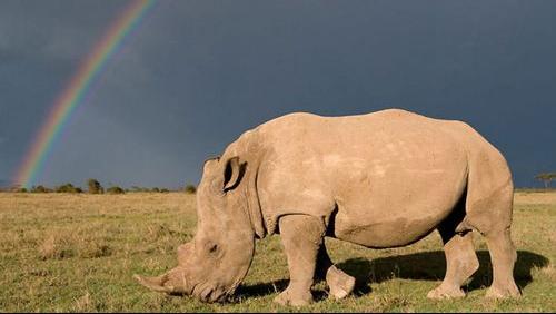 Số lượng tê giác bị giết trộm ở Nam Phi để lấy sừng giảm đáng kể