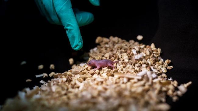 Các nhà khoa học Trung Quốc tạo ra chuột con từ hai chuột cái