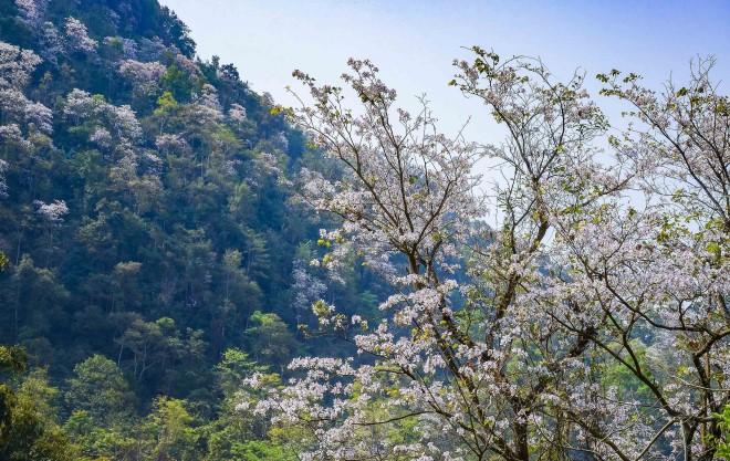 Hoa Ban, Hoa Ban Điện biên, Hoa Ban tây Bắc, Hoa Ban nở, Mùa hoa ban nở, mùa hoa ban, hoa ban trắng