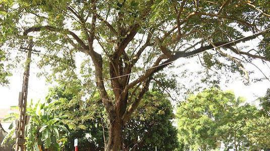 Điều tra vụ 200 cây sưa đỏ của người dân bị chặt phá