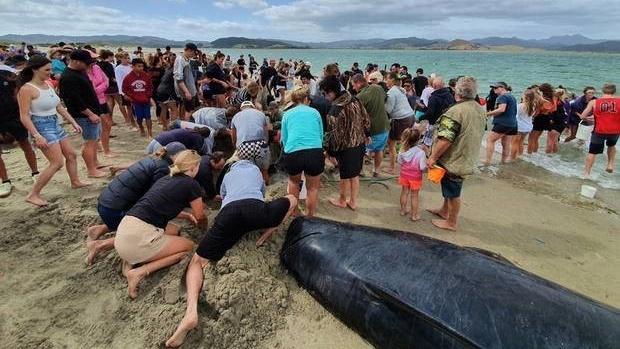 Hơn 1.000 người tham gia giải cứu đàn cá voi mắc cạn trên bờ biển New Zealand
