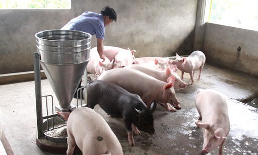 Vì sao giá thịt lợn vẫn cao. Giá thợt lợn. Giá heo hơi. Giá heo hơi hôm nay