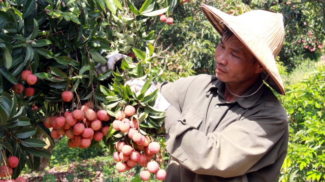 Vải thiều Bắc Giang tiêu thụ thuận lợi, giá bán cao