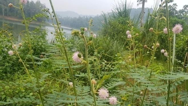 Thanh Hóa: Ngăn chặn sự xâm lấn của cây Mai Dương tại Vườn Quốc gia Bến En