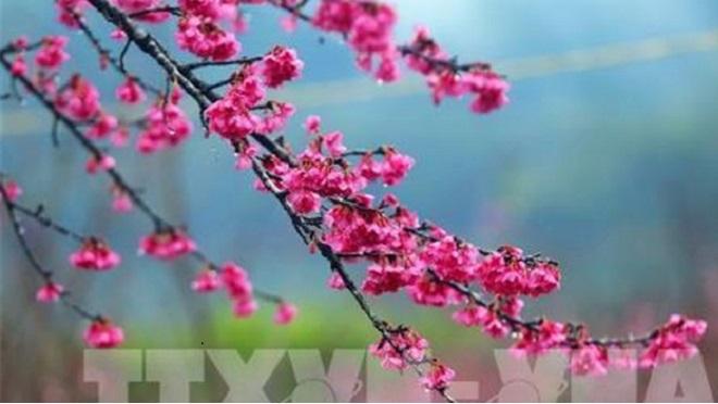Khai mạc Lễ hội hoa Anh đào và Mai vàng Yên Tử năm 2019