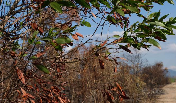 Trong ảnh: Hầu hết những cây keo lá tràm bị lửa cháy đen gốc, khô lá, rất khó có khả năng phục hồi. Ảnh: Nguyễn Dũng – TTXVN