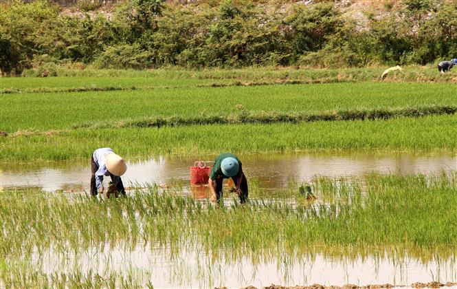 Trong ảnh: Nông dân xã Võ Ninh, huyện Quảng Ninh (Quảng Bình) ra đồng từ sáng sớm, tích cực sản xuất đảm bảo tiến độ vụ lúa Hè Thu 2020. Ảnh: Văn Tý-TTXVN