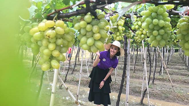 MC Phí Linh tiết lộ lý do 'bỏ phố' về Ninh Thuận hái nho