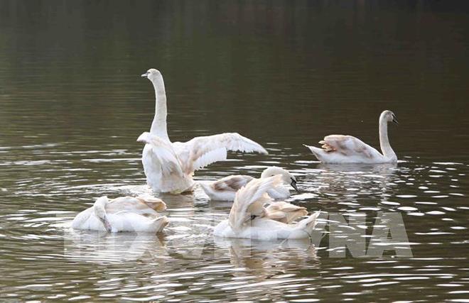 Chiêm ngưỡng thiên nga lần đầu tiên xuất hiện tại Hồ Gươm