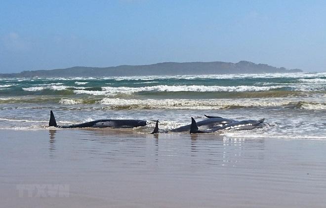 Australia, Cá voi, mắc cạn