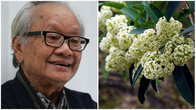 'Ức chế' vì hoa sữa, người Hà Nội trách móc cả... nhạc sĩ Hồng Đăng