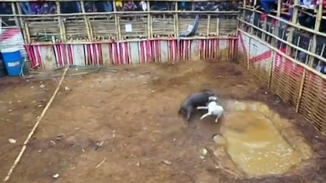VIDEO: Phẫn nộ cảnh hàng trăm thanh niên cổ vũ đàn chó cắn xé một con lợn rừng
