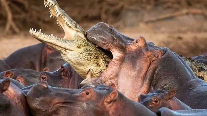 VIDEO: Một con cá sấu 'chiến' với hơn 30 con hà mã. Ai sẽ thắng?