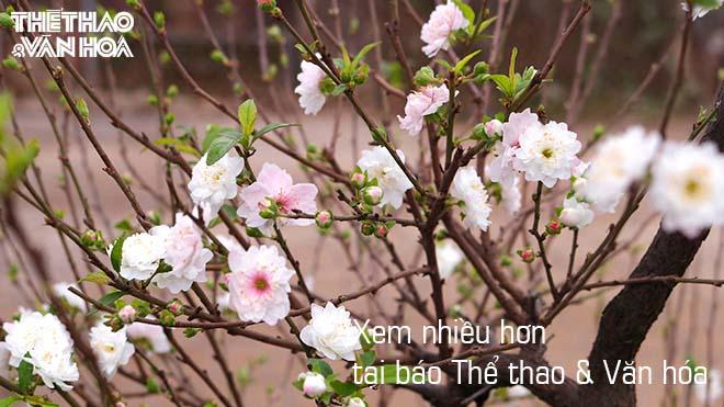 Hoa đào, hoa mai trắng khoe sắc tuyệt đẹp trước Tết Nguyên Đán