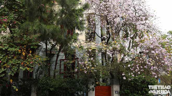 Cây hoa ban 'mồ côi' trên đường Hà Nội hớp hồn người ngang qua phố