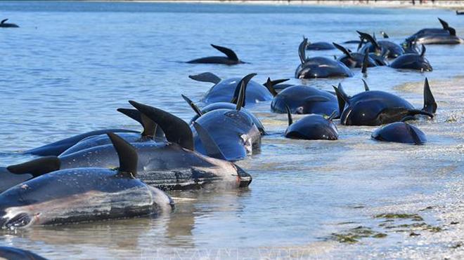 Lại phát hiện đàn cá voi chết và mắc cạn bí ẩn ở bờ biển Iceland