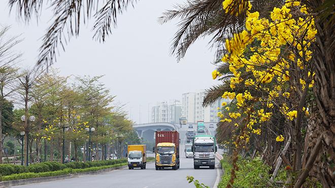 Hàng cây Phong Linh 'độc nhất' khoe sắc vàng rực rỡ giữa lòng thủ đô