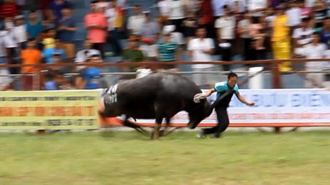 VIDEO CLIP: Kinh hoàng trâu chọi húc tung chủ nhân tại lễ hội chọi trâu Đồ Sơn