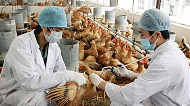 Cúm virus, cúm H5N8, dịch cúm mới, cúm gà, virus cúm gà, chăn nuôi gà, tổ chức y tế, dịch cúm lây từ gà sang người