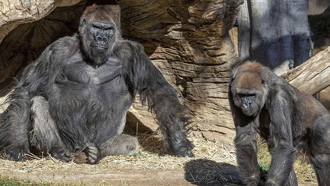 Dịch Covid-19: Thử nghiệm tiêm chủng cho tinh tinh và đười ươi tại vườn thú Mỹ
