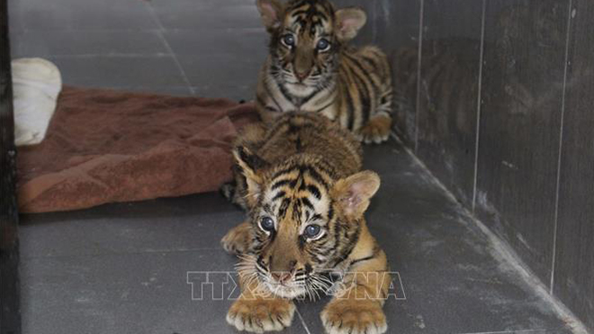 Đột phá lớn trong chống nuôi nhốt, buôn bán hổ trái phép