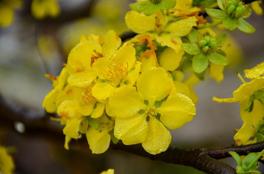 Lễ hội hoa Anh đào – Mai vàng Yên Tử diễn ra từ ngày nào?