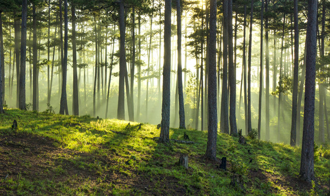 Rừng thông Lâm Đồng lại chết đứng vì bị đầu độc bởi hóa chất