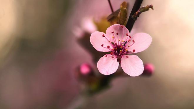 Cách giữ hoa đào tươi lâu, Giữ hoa đào tương lâu, Giữ hoa tươi lâu ngày tết, giữ hoa đào tương lâu ngày tết, đào nở hoa đúng tết, có đốt gốc đào, đốt gốc đào, hoa đào tết