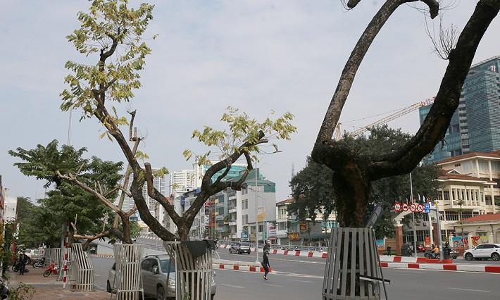 Cây sưa đỏ, Nhiều cây sưa đỏ ở Hà Nội bị chết, Cây sưa đỏ ở Hà Nội, Sưa đỏ