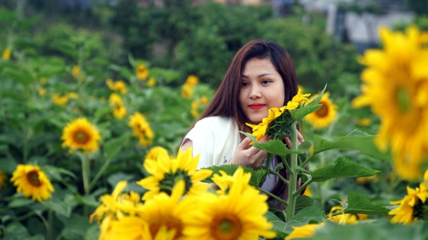 Vườn hoa hướng dương hàng ngàn mét vuông giữa rừng Tây Bắc gọi mời du khách